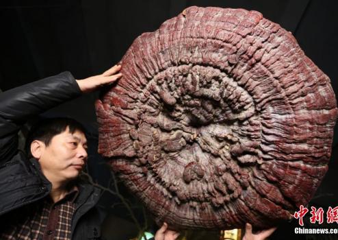 郑州现巨型野生灵芝 生长年份超200年