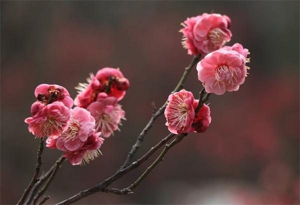 济南:梅花盛开报春来 尽享春日美好时光